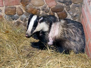 injuredbadger